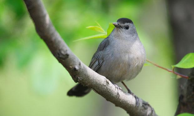 Gray catbird (iStock)