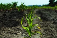 Corn growing in parched land (iStock)