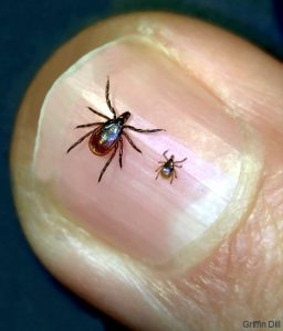 Adult female and nymph deer tick (Griffin Dill/Courtesy UMaine Cooperative Extension)